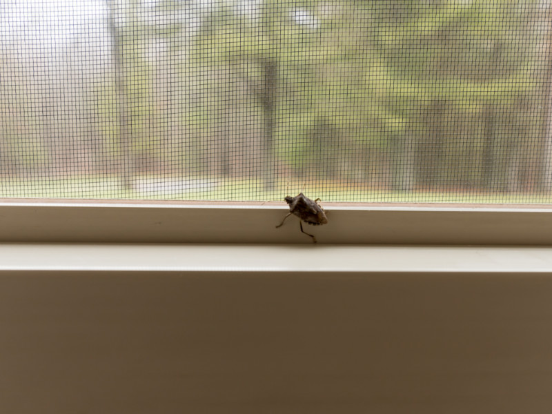 Why Do I See So Many Stink Bugs in My House?