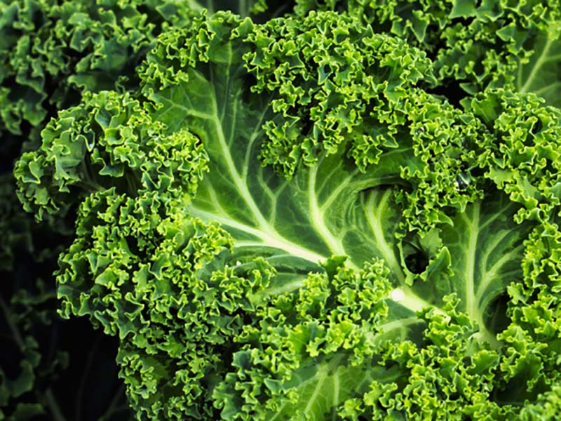 Kale is a nice addition to any diet.