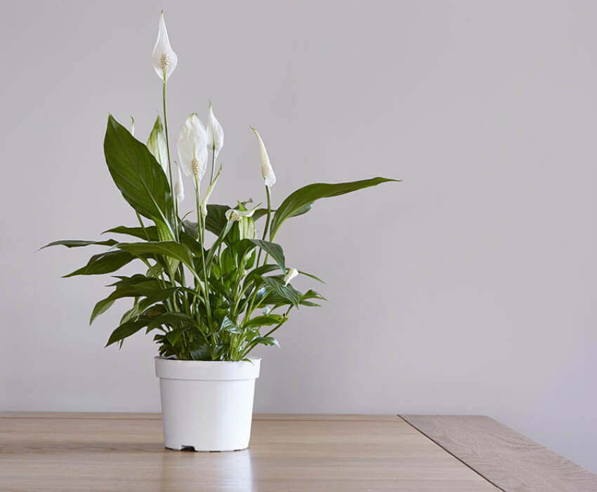 Peace lilies are beautiful and simple.