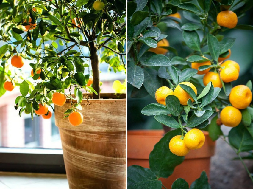 Citrus trees are surprisingly good for containers. Source: Balcony Garden Web