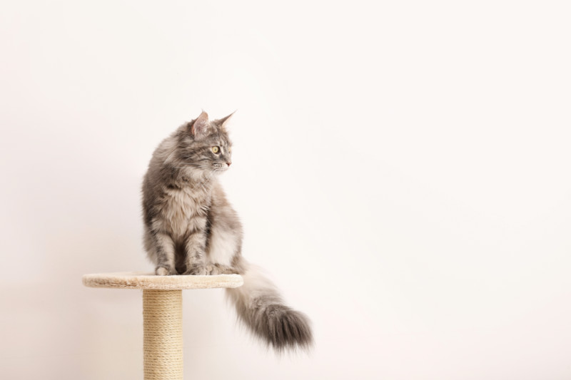 https://www.shutterstock.com/pt/image-photo/adorable-maine-coon-on-cat-tree-1259923810