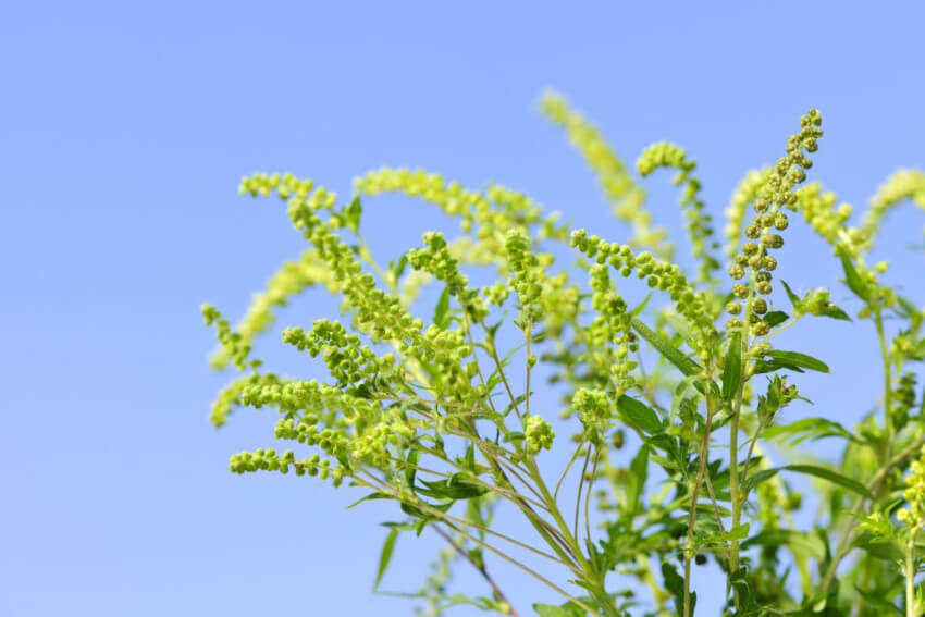 Ragweed is terrible and you should avoid it at all cost.