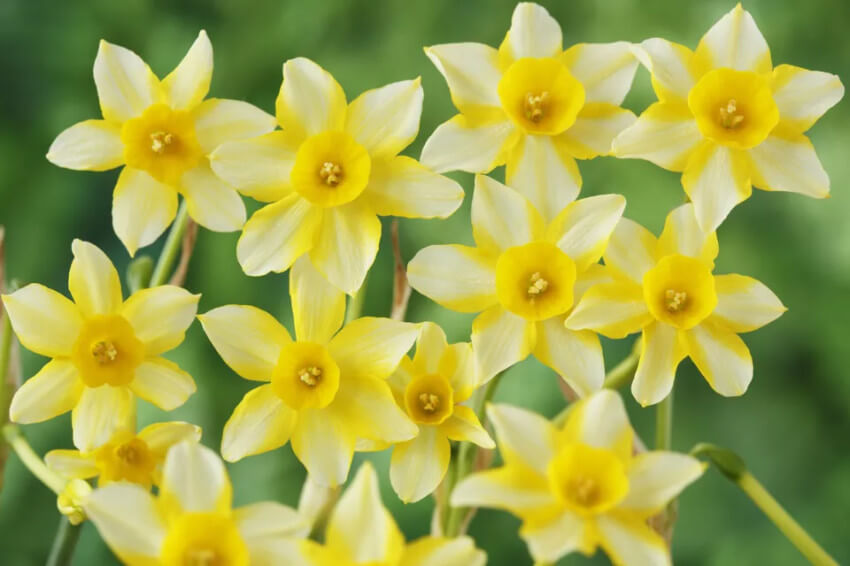 Daffodils have a wide variety of flowers and every single one is beautiful.
