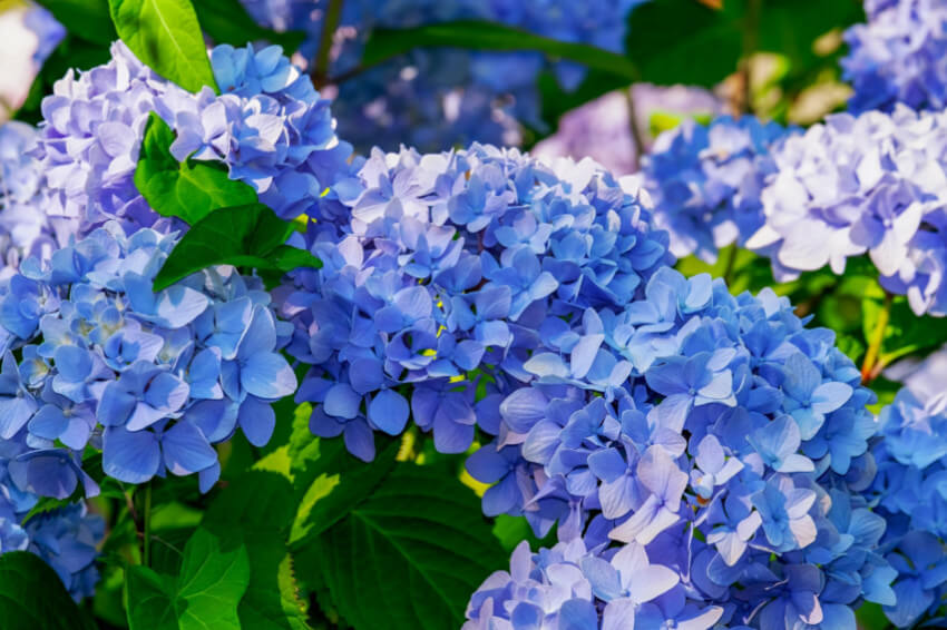 Late summer or late winter are the ideal times for pruning hydrangeas.