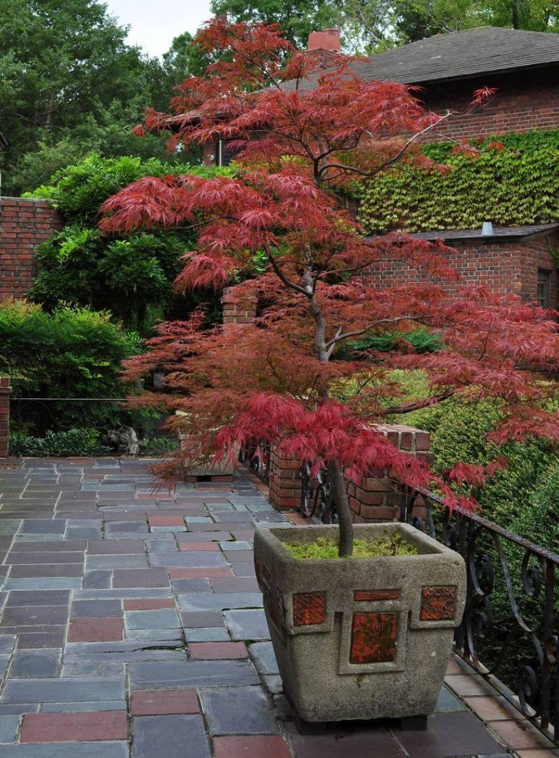 The japanese maple is common for bonsai trees. Source: Hydrophonic Metod