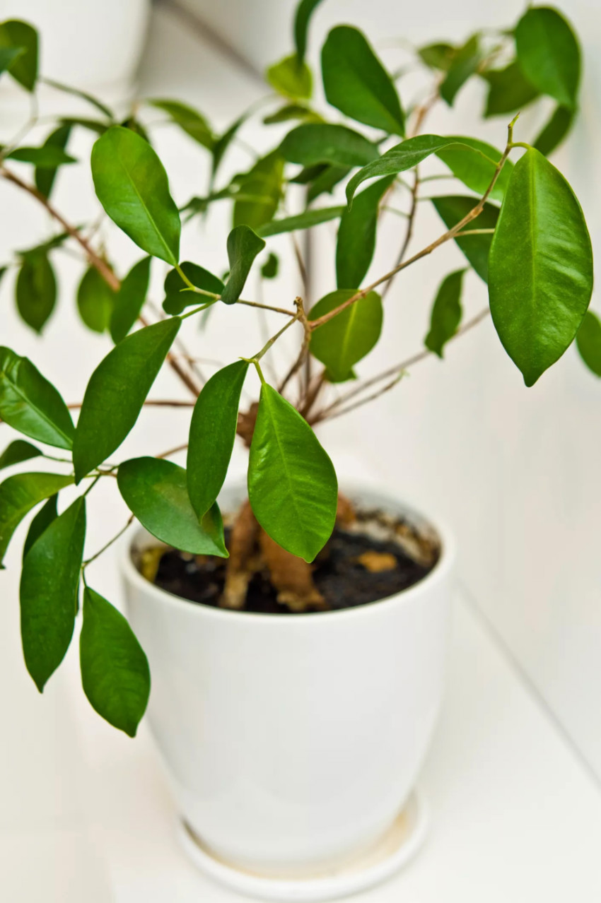 Ficus trees are commonly used as indoor houseplants. Source: The Spruce